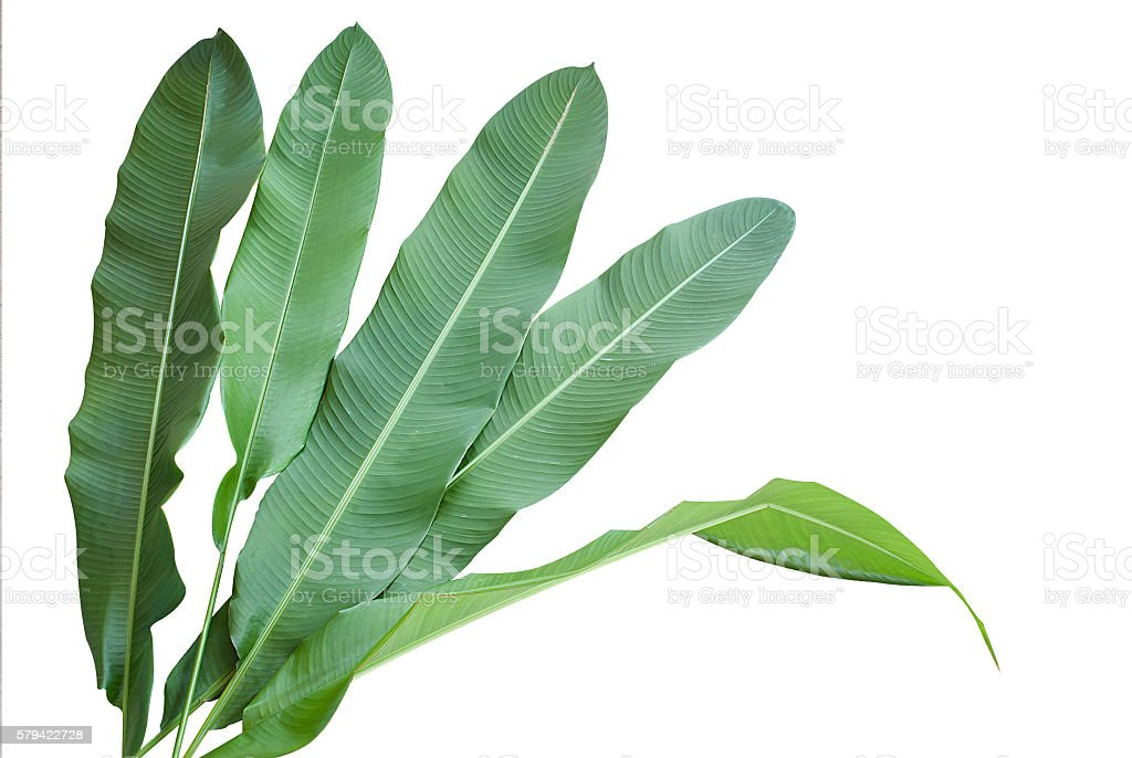 Heliconia : green leaf on isolate white background. stock photo