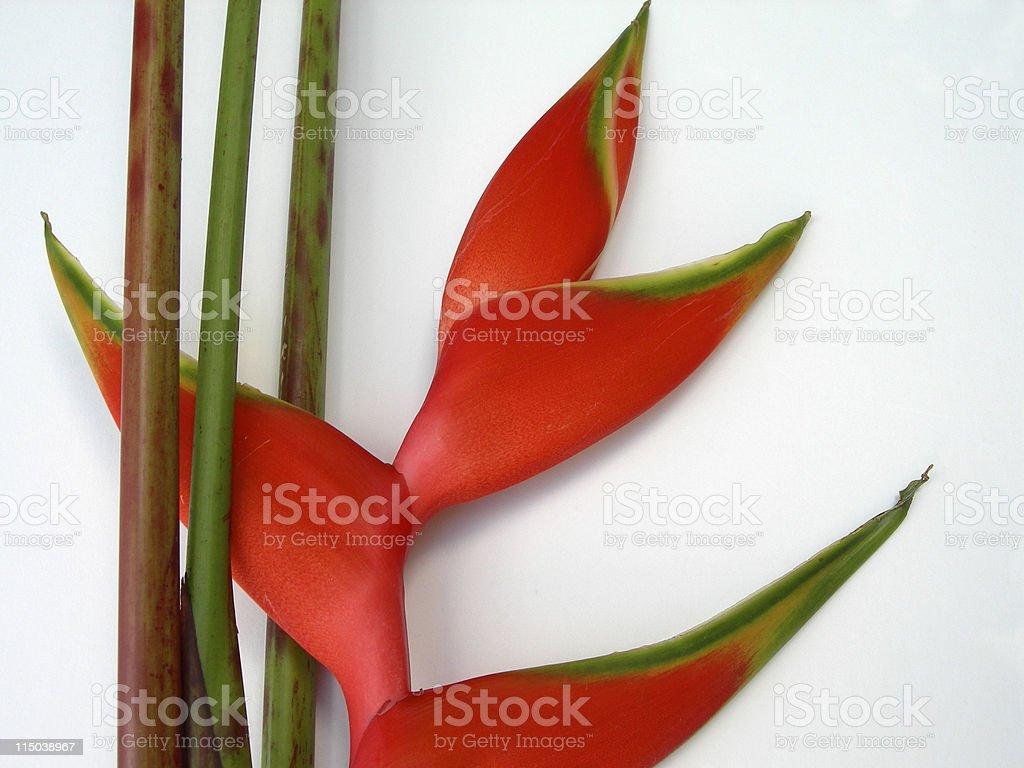 Heliconia stock photo