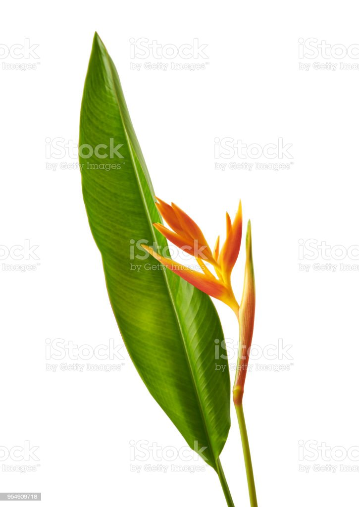 Heliconia psittacorum (Golden Torch) flowers with leaves, Tropical flowers isolated on white background, with clipping path stock photo