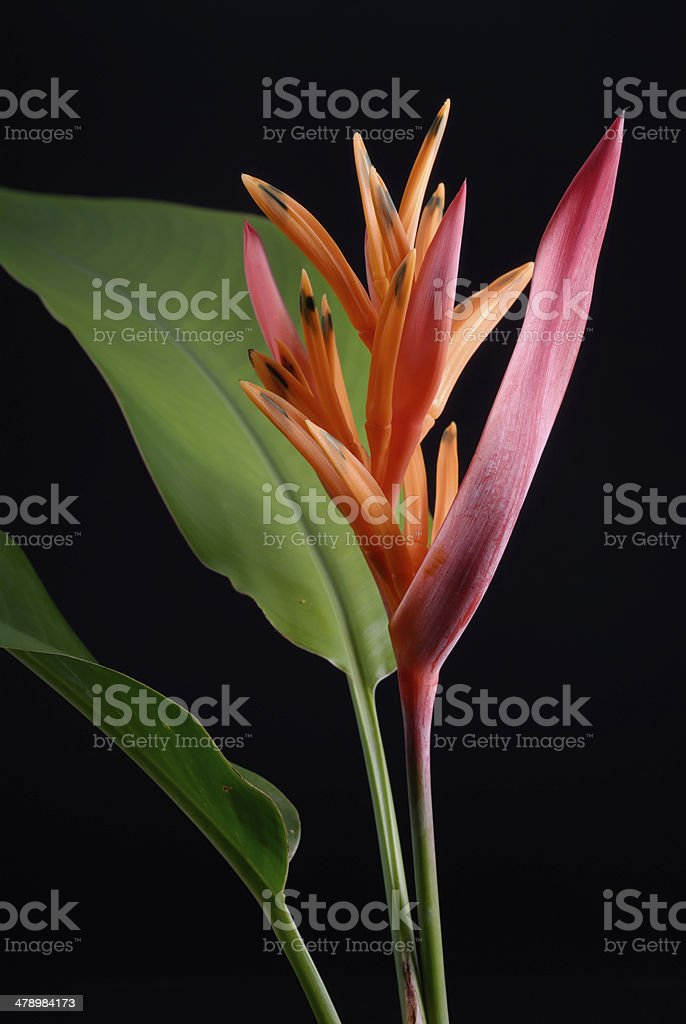 Heliconia psittacorum [Parrot Heliconia] royalty-free stock photo
