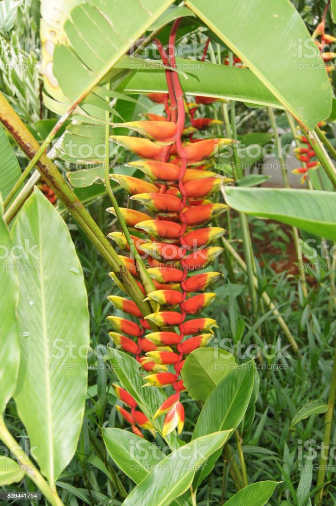 Heliconia (Lobster-Claws) Red Flower stock photo