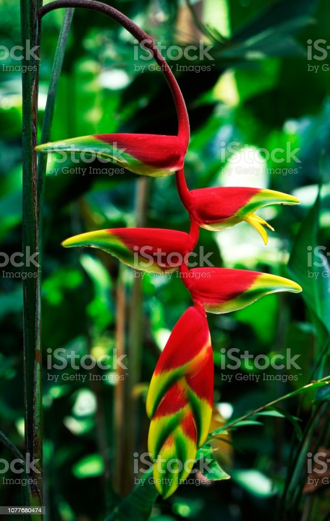 Heliconia rostrata also known as Hanging Lobster Claw or False Bird of Paradise orchid. stock photo