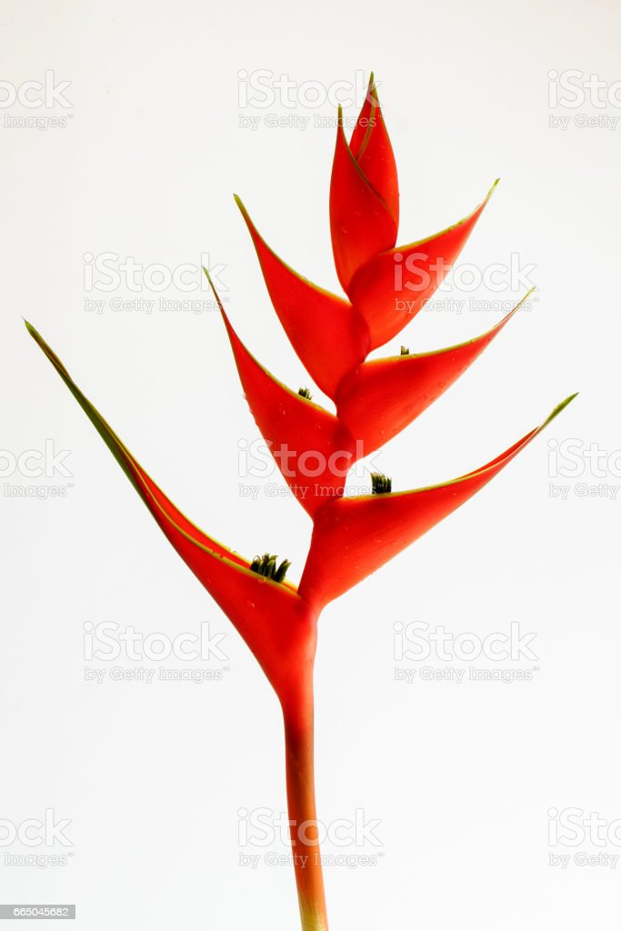 Heliconias flower on a white background stock photo