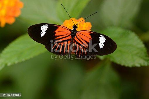 Bright colorfull picture of a tropical postman ( Heliconius melpomene) butterfly eating from Lantana.