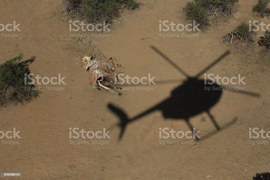 Helicopter hovers over dead elephant stock photo