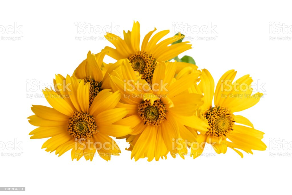 Heliopsis flowers or False sunflower, Oxeye sunflower, Sweet smooth...