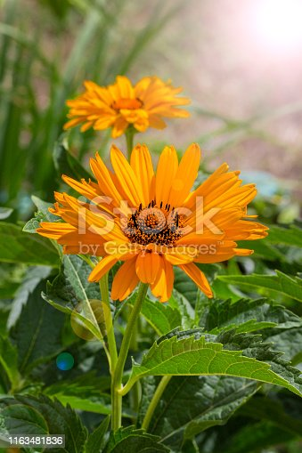 Heliopsis helianthoides False Sunflower beautiful yellow orange garden flower, Astra Ox Eye. Postcard vertical