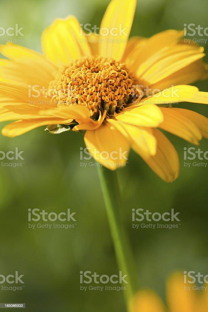 Heliopsis-Loraine sunshine royalty-free stock photo