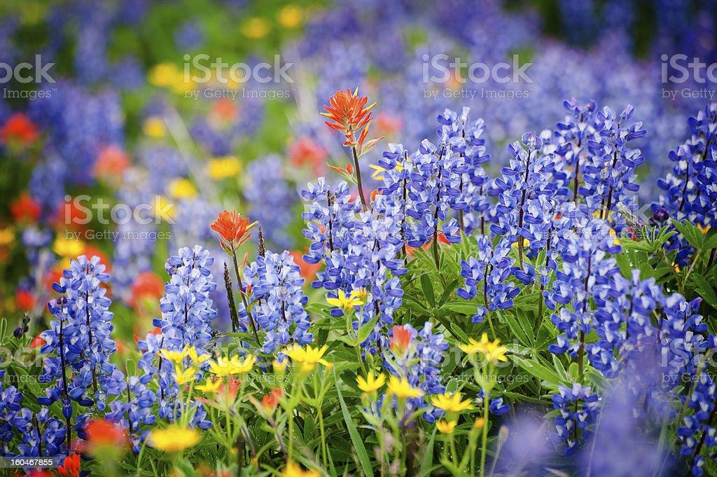 Heliotrope Ridge Wildflowers. royalty-free stock photo