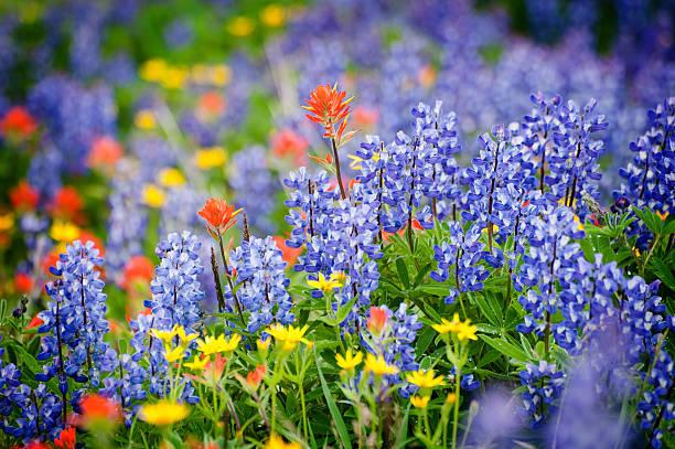 Heliotrope Ridge Wildflowers. stock photo