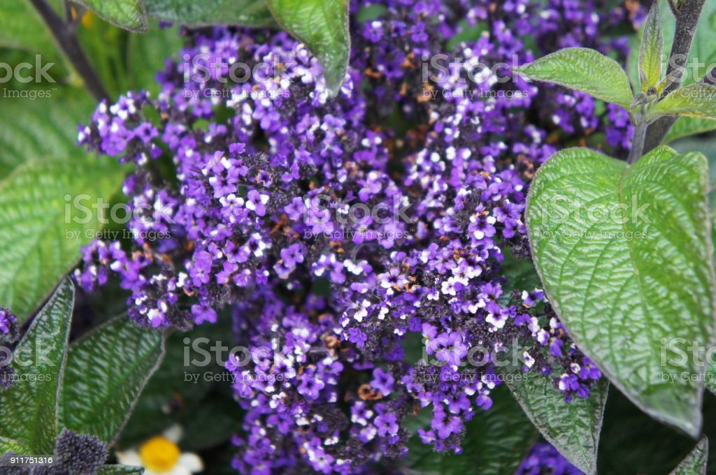 Heliotropium arborescens violet flowers with green foliage stock photo