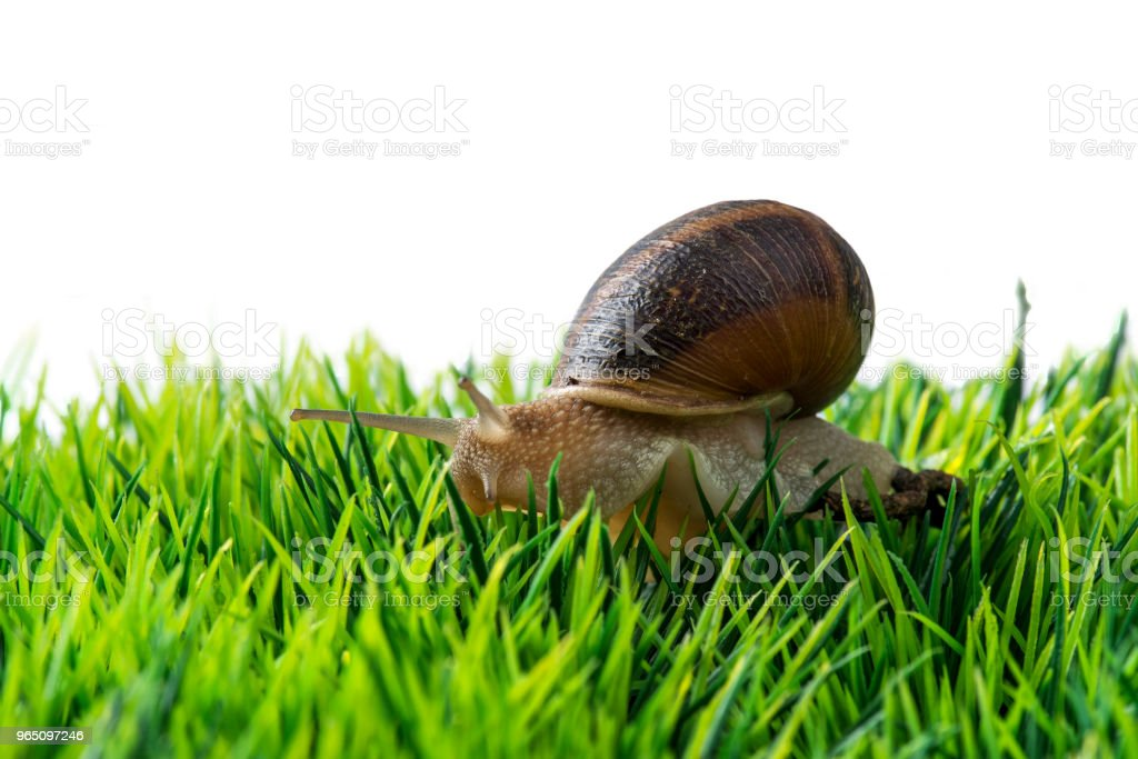 Helix pomatia, Burgundy snail on grass and bubbles royalty-free stock photo