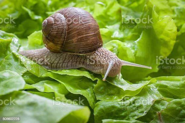 Helix pomatia burgundy snail picture id505602225?b=1&k=6&m=505602225&s=612x612&h=bqoy9uvsbpkaonjuogduzqycabcdb2qxcekzimqvp6g=