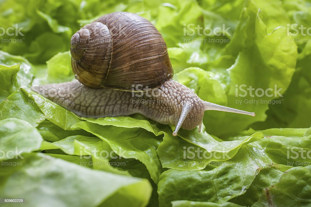 Helix pomatia, Burgundy snail stock photo