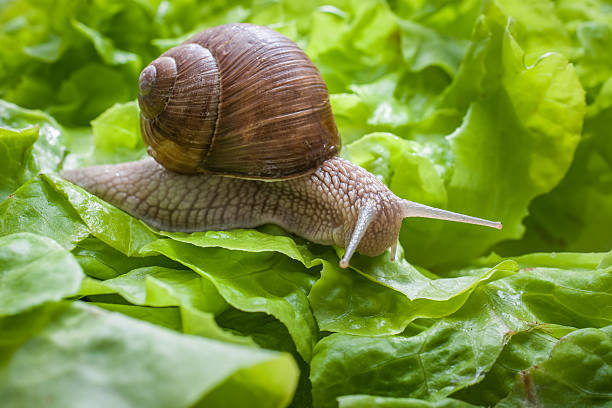 Helix pomatia, Burgundy snail Slug in the garden eating a lettuce leaf. Snail invasion in the garden helix stock pictures, royalty-free photos & images