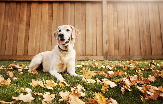 Shot of a cute labrador sitting amongst fallen leaves on the grass outdoors