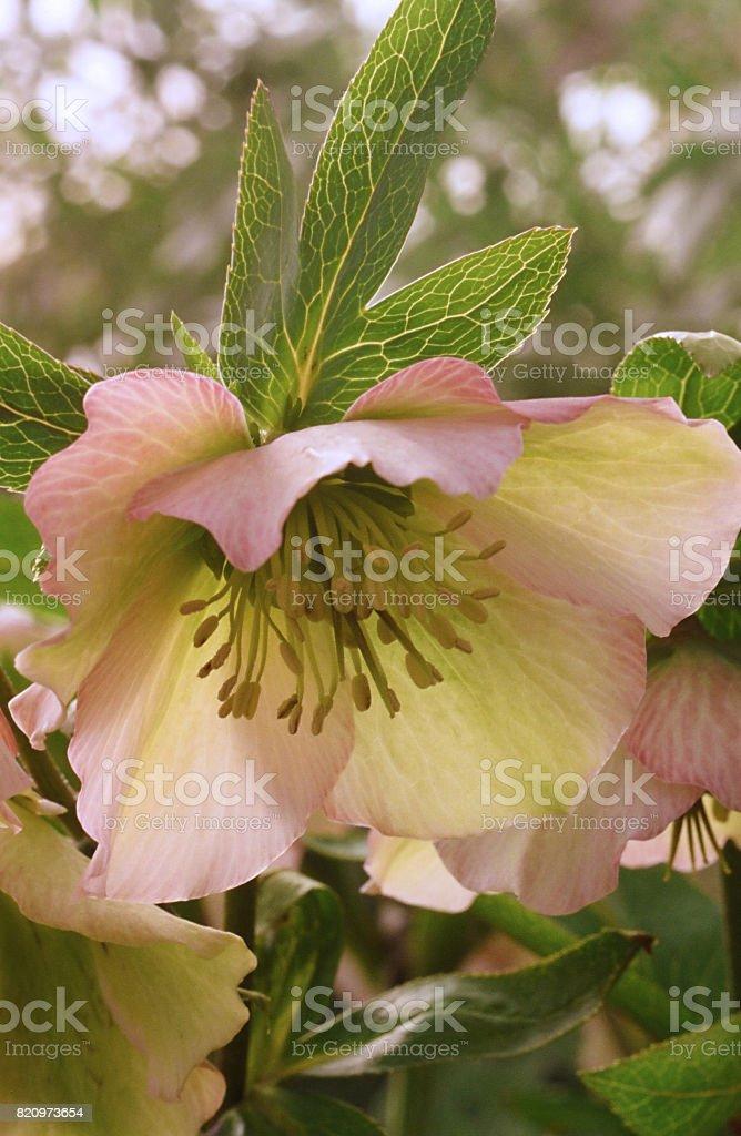 Hellebore Flower (Helleborus × hybridus) stock photo
