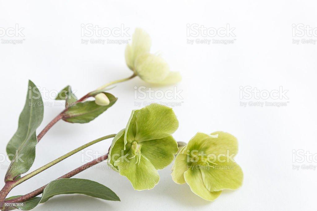 Hellebore flowers (helleborus orientalis) on white background stock photo