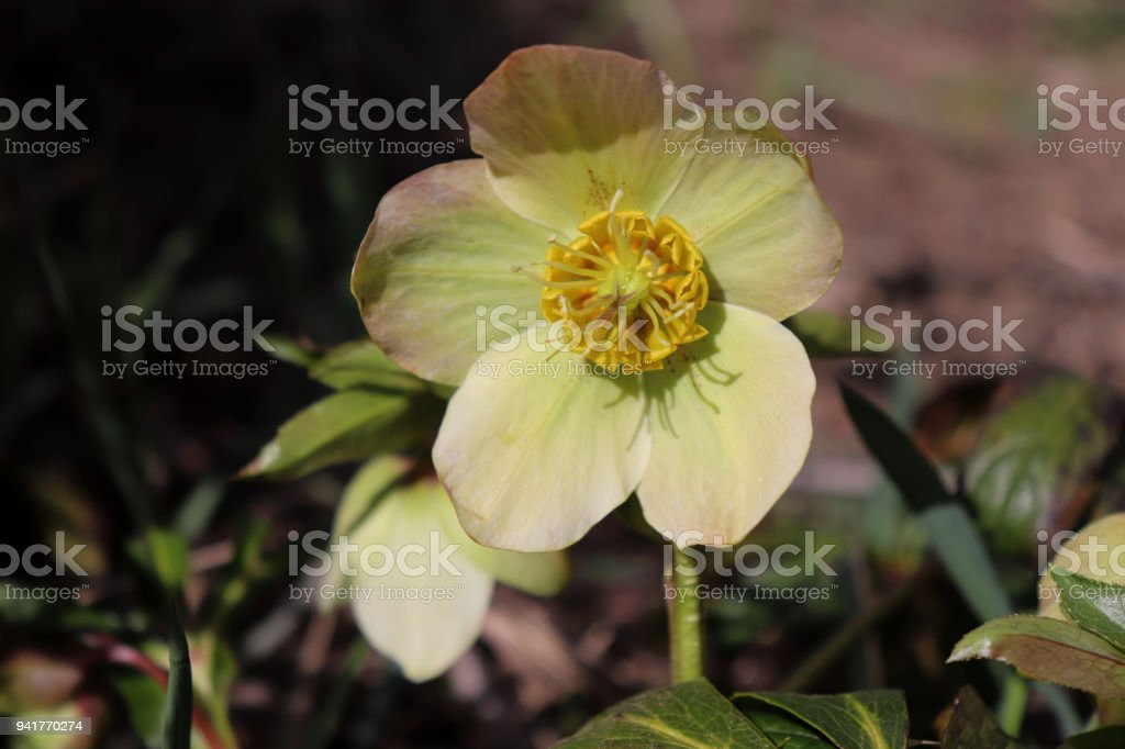 Helleborus in organic garden.Despite names such as winter rose, Christmas rose and Lenten rose hellebores are not closely related to the rose family Rosaceae.Many hellebore species are poisonous stock photo