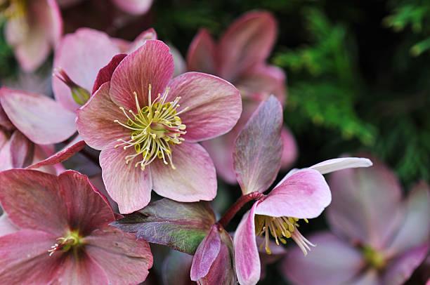 helleborus in the garden - carpel bildbanksfoton och bilder