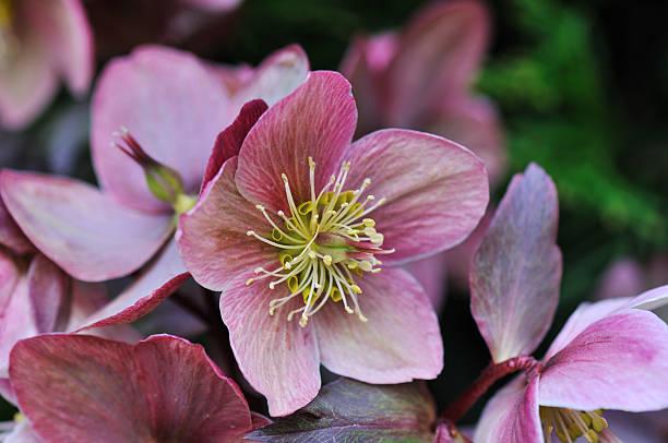 helleborus w ogrodzie - pręcik część kwiatu zdjęcia i obrazy z banku zdjęć