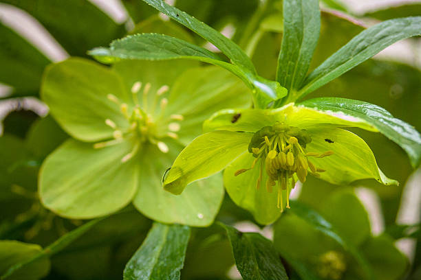 Helleborus odorus - Hellebores Helleborus odorus - Hellebores corn lilly stock pictures, royalty-free photos & images