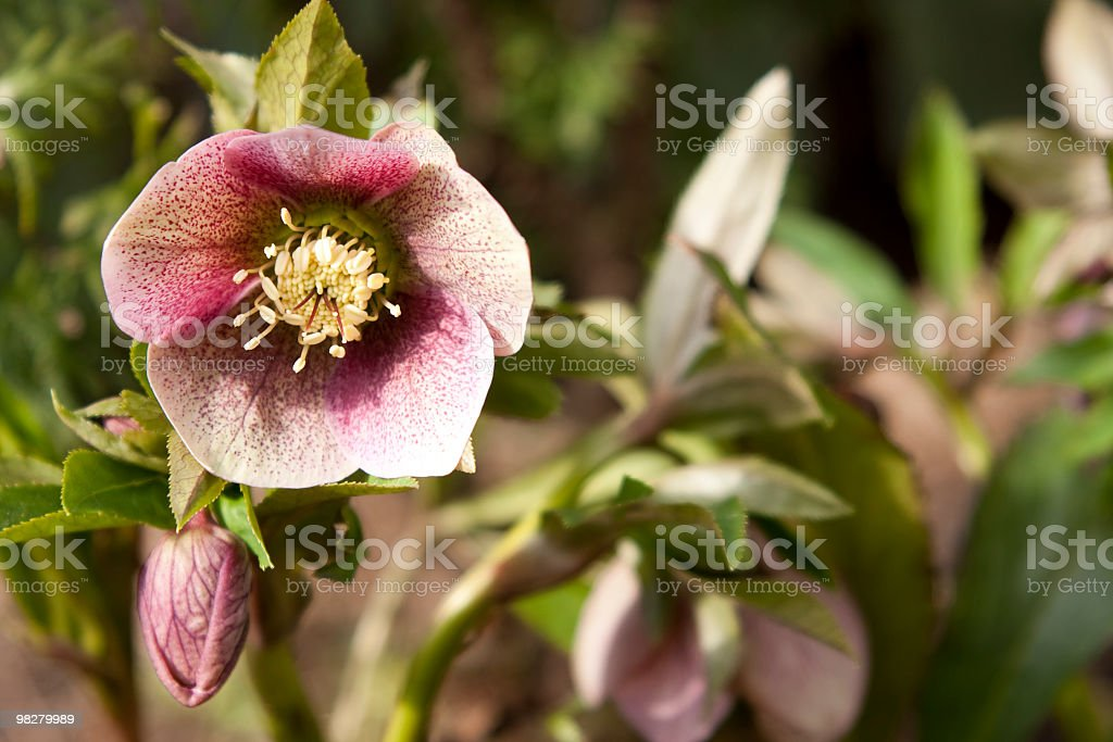 Helleborus x. hybridus royalty-free stock photo