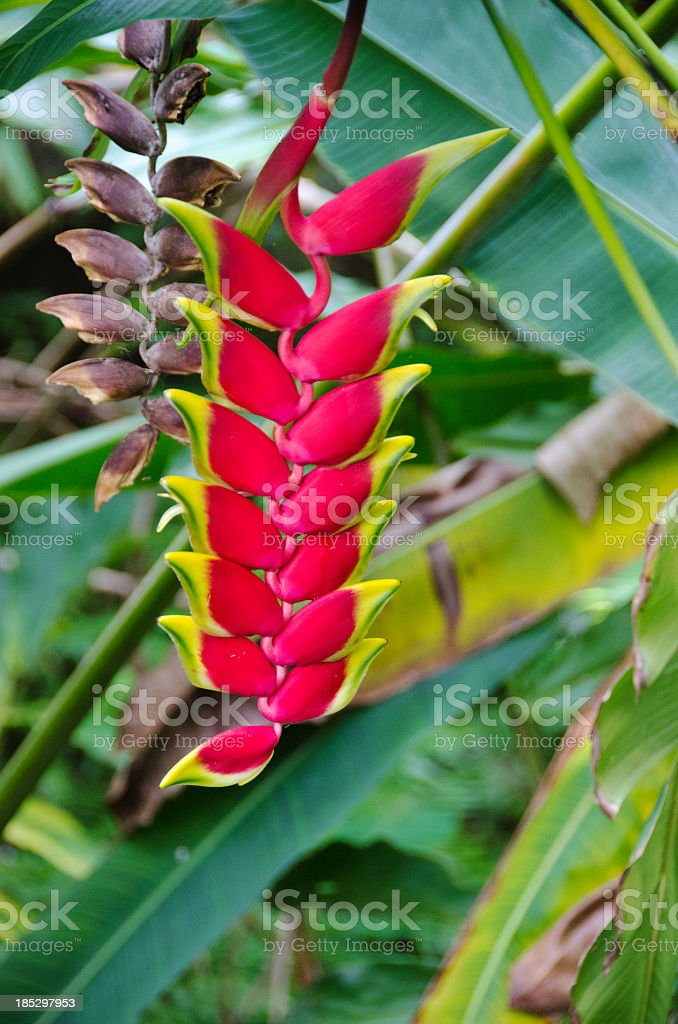 Helliconia Flower royalty-free stock photo