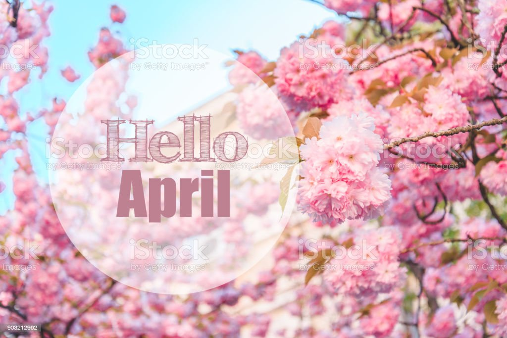hello april text with blooming sakura on background stock photo