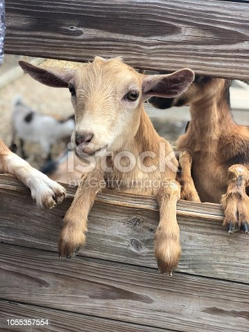 Goat looks through wooden fence