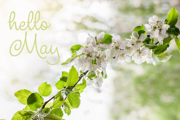 Hello May lettering card.  Spring background with flowers. stock photo