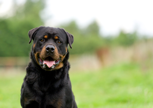Portrait of a Rottweiler dog with space for copy