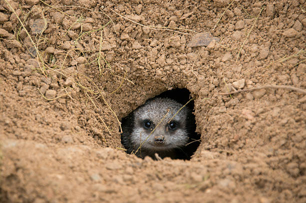 hello - meerkat stock photos and pictures