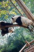 panda cubs sleeping