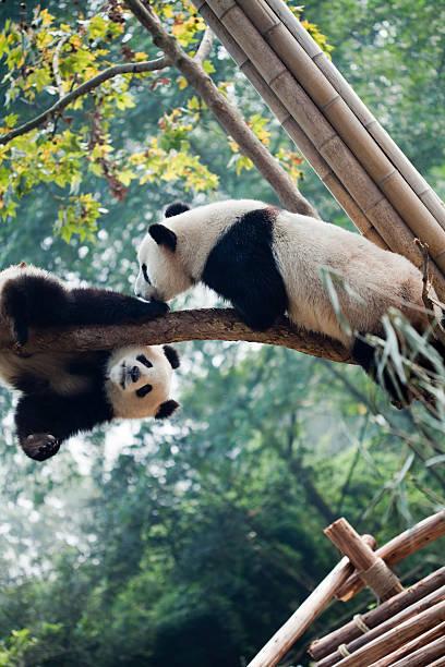 bonjour, - panda photos et images de collection
