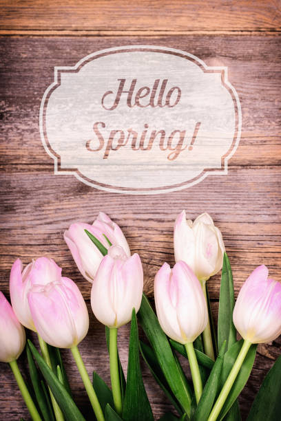 hallo frühling tulpen - rosa zitate stock-fotos und bilder