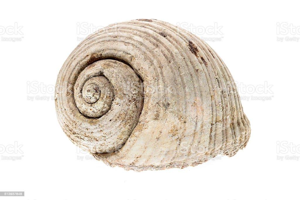 Helmet sea shell  Tonna Galea or Tun Shell. Empty house stock photo