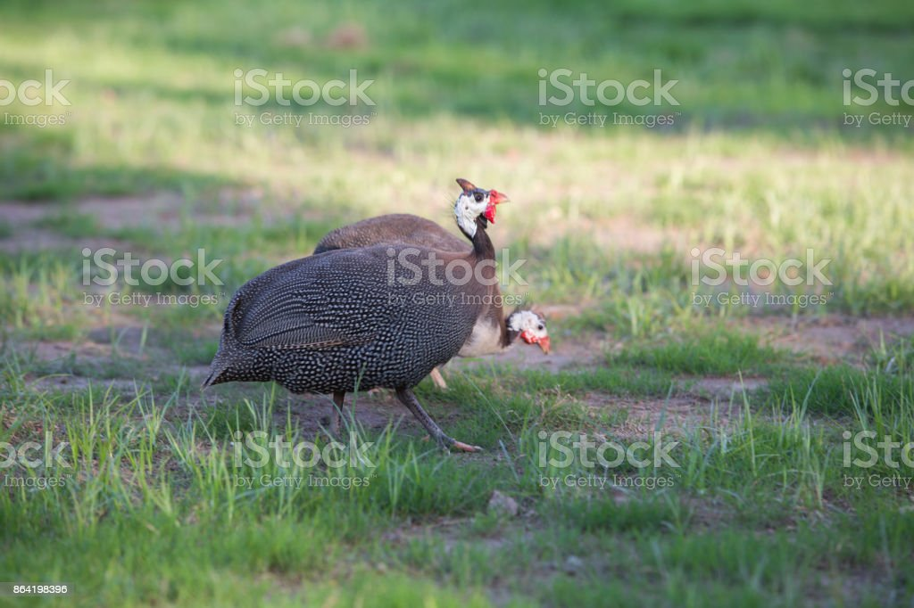 Helmeted guinea fowl royalty-free stock photo