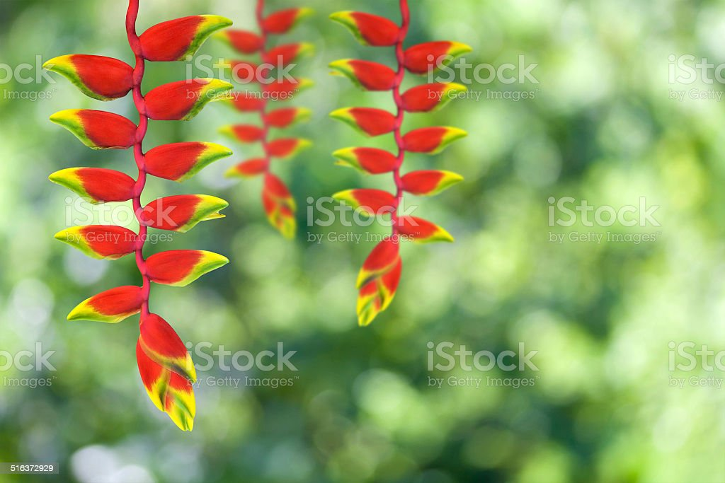 heloconia flower stock photo