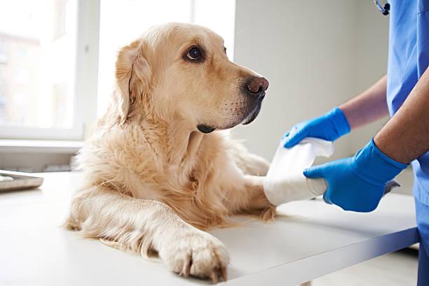 Helping injured dog picture id527887068?b=1&k=6&m=527887068&s=612x612&w=0&h=umgjem4xr kwnunnzucmkzv30dlkbsdf4w72i82tabi=