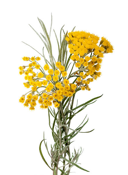 Helychrysum Immortelle (Helychrysum) isolated on white background eternity stock pictures, royalty-free photos & images