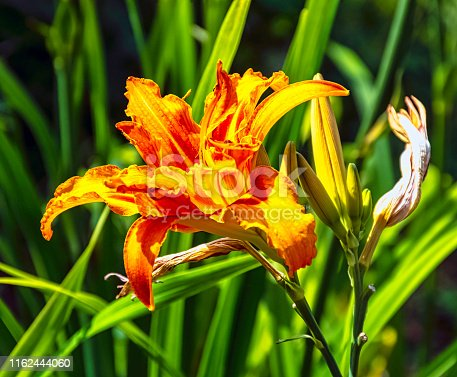 Hemerocallis fulva known as orange day-lily, tawny, tiger, railroad, roadside or fulvous daylily, also ditch, outhouse or wash-house lily is a species of daylily native to Asia