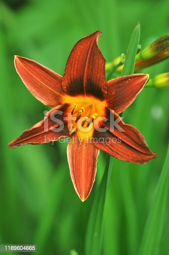 Hemerocallis fulva kwanso, the orange day-lily, tawny tiger daylily, fulvous ditch lily single flower red orange yellow green background