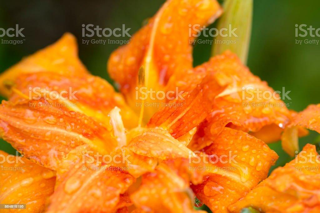Hemerocallis fulva var. kwanso stock photo