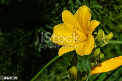 Hemerocallis hybrida Stella de Oro. Close-up. Bright yellow-orange daylily Hemerocallis hybrida Stella de Oro on blurry green background of evergreens. Selective focus. There is place for text.