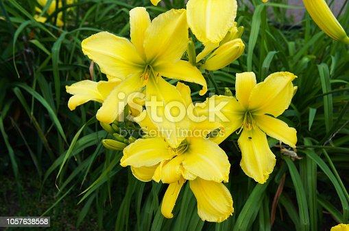 Hemerocallis lemon ladeline yellow lilly flowers
