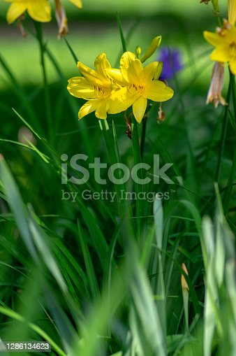 Hemerocallis lilioasphodelus bright yellow plants in bloom, ornamental flowering daylily flowers in natural parkland, bunch of lemon lilies day lily in green grass in sunlight