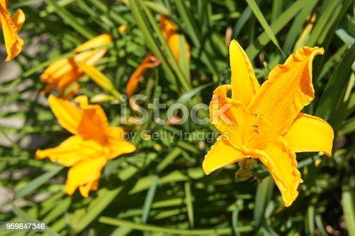 Hemerocallis lilioasphodelus daylily or lemon lily flowers with green