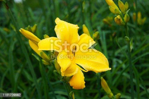 Hemerocallis lilioasphodelus lemon lily yellow flower with green background
