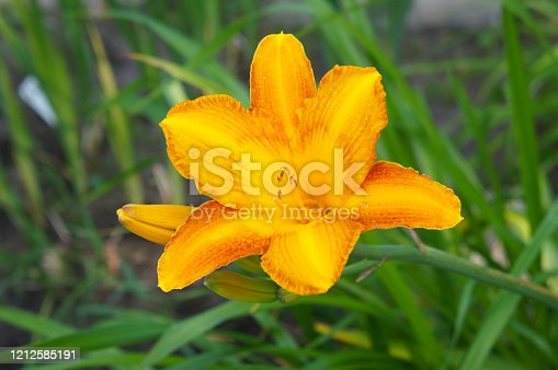 Hemerocallis lilioasphodelus or lemon daylily yellow flowers with green